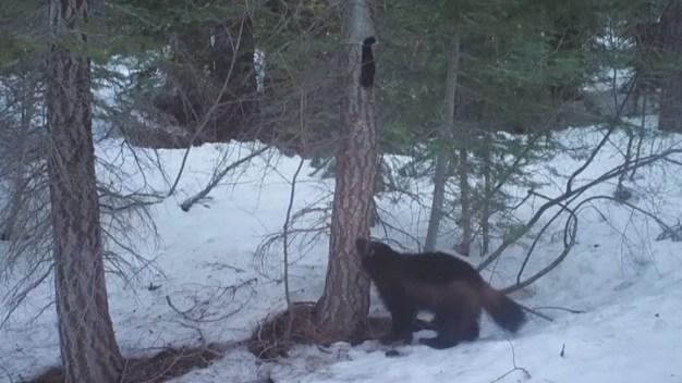 Rare Wolverine Sighting in Sierra Nevada