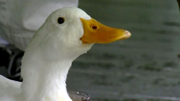 Duck Shows Up at Man's Home, Refuses to Leave