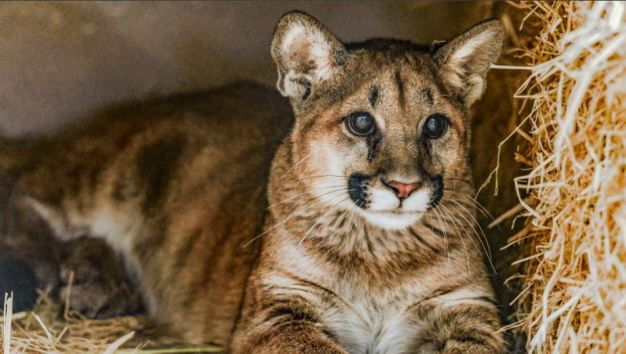 Oakland Zoo Welcomes Two Orphaned Mountain Lion Cubs