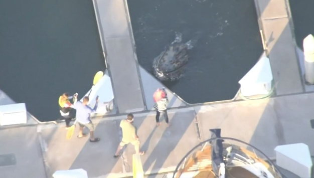 Whale Stuck in Calif. Harbor Finds Way Back to Sea