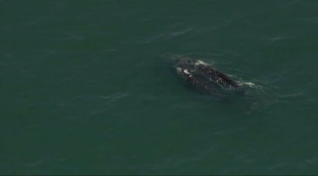 [BAY] RAW VIDEO: Whales Sighted Off Ocean Beach in San Francisco