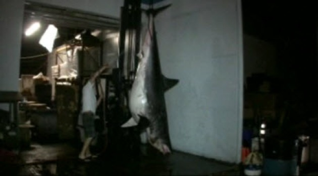 [NATL-BAY] 1,300 Pound Shark Caught Off California Coast