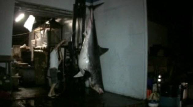 [NATL-BAY] 1,300 Pound Shark Caught Off California Coast