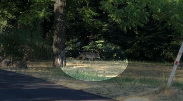 Coyote Terrorizes East Bay Neighborhoods