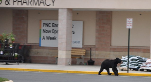 Black Bear Goes Grocery Shopping ... Sort Of