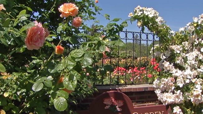 San Jose Rose Garden Touted For Citizen Involvement in Recovery
