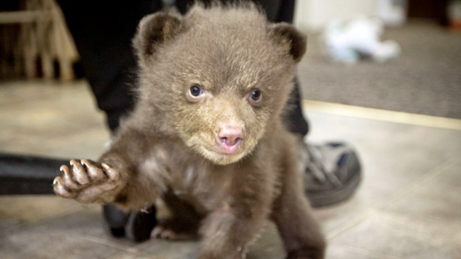 "Mystery of Bear Cub ""Tahoe"" May Be Solved"