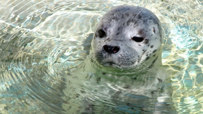 """How Can You Resist That Face?"" Harbor Seal Pup Born at Six Flags in Vallejo"