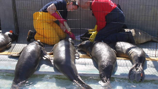 "Volunteers Scramble to Make ""Fish Smoothies"" for Record Number of Sick Sea Lions"