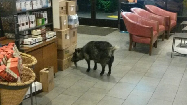 Rohnert Park Police Reunite Wayward Goat With Owner After Finding it at Starbucks