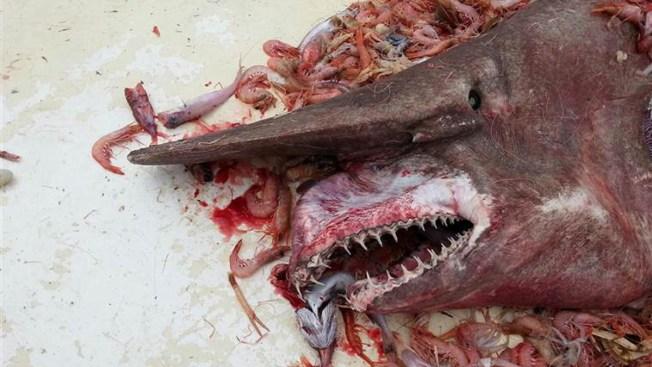 Fisherman Catches Rare Goblin Shark in Florida