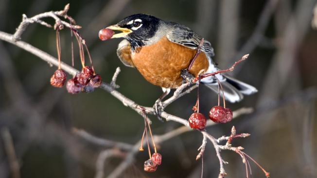 Birds With a Buzz Bang Into Windows, Cars in Minnesota