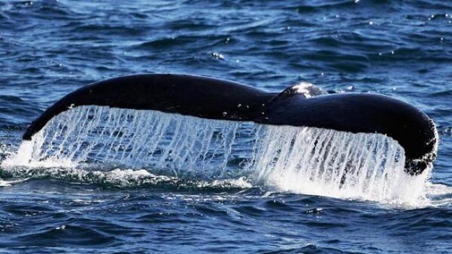 Humpback Whales Spotted at Moss Landing
