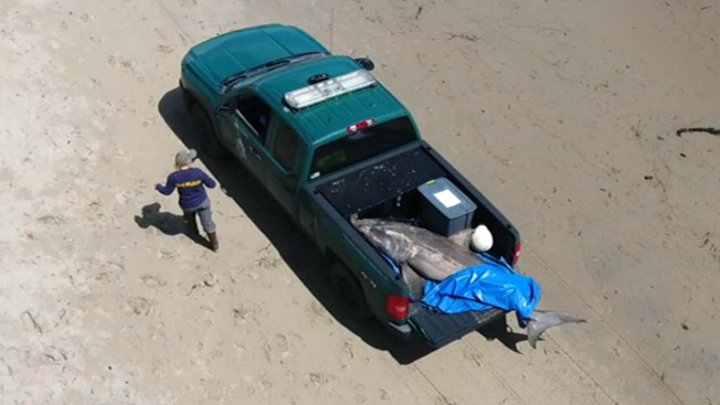 White Shark's Body Pulled from Capitola Coast, Researchers Fear Infection Caused its Death