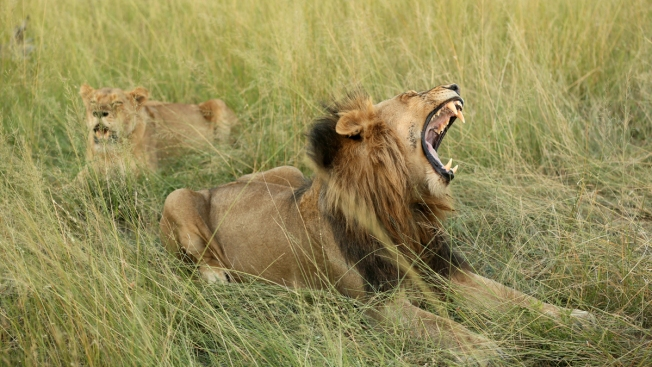 Lions Kill Suspected Rhino Poachers on South African Reserve