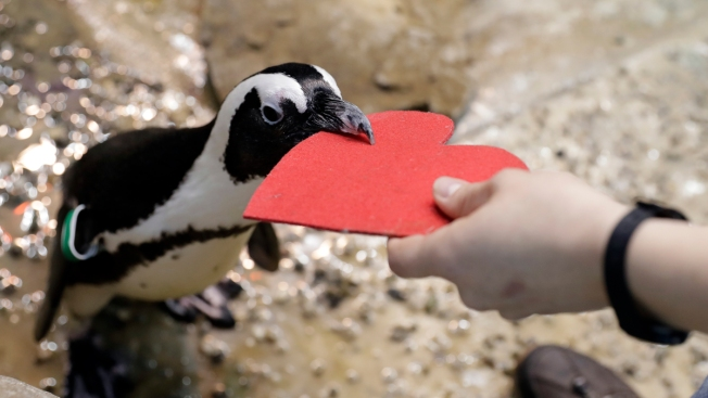 Love on the Rocks: Penguins Celebrating Valentine's Day