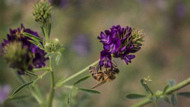 Honeybees Finding It Harder to Eat at Their Last US Refuge