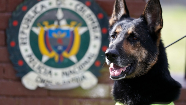 Cartel Targets K-9: Extraordinary Drug Dog Worries Colombia's Gulf Clan