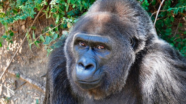 Trudy, Believed the Oldest Gorilla in Captivity, Dies at 63