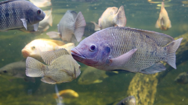Woman Could Face Charges After Releasing Live Tilapia Into Lake Chabot