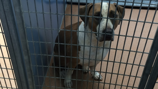Rescue Dog in Baby's Death Euthanized at Owner's Decision: Dept. Animal Services