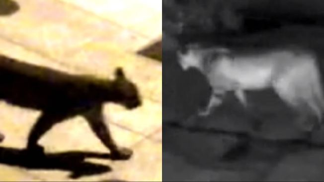 Mountain Lion Spotted Prowling Around Salesforce CEO's House Again