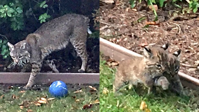 Hello! Bobcat Family Makes Surprise Visit to Fremont Family's Yard