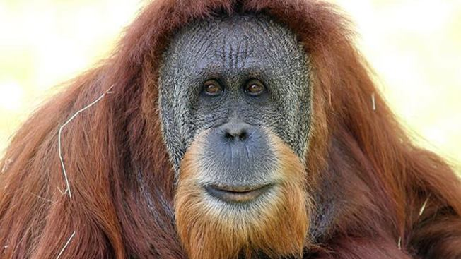 Oldest Orangutan at Miami Zoo Dies After Emergency Surgery