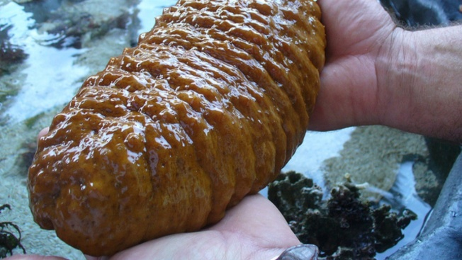 Man Admits to Smuggling Sea Cucumbers