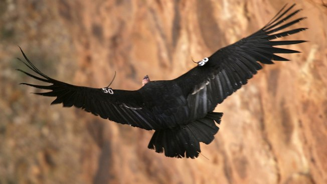 California Condors Released From Big Sur