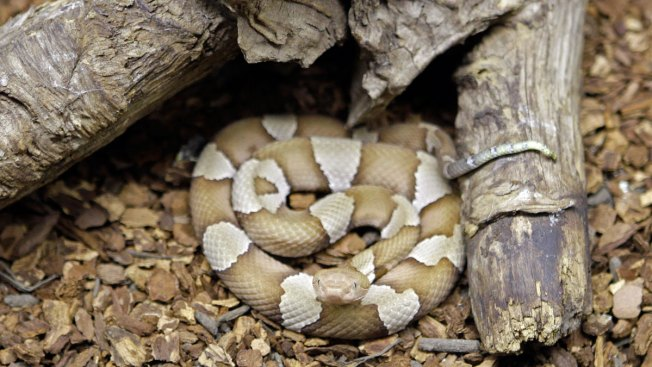 Venomous Snake Bites Customer in Lowe's Store