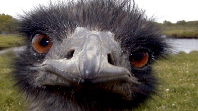 Wayward Emu Escapes From Farm, Leads Morgan Hill Police on Foot Pursuit