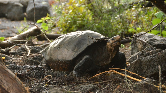Tortoise Feared Extinct Found on Remote Galapagos Island