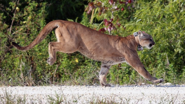 2 Panthers Found Dead in South Florida