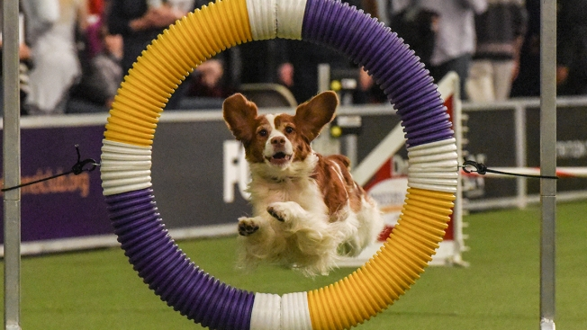 Pups Show Off Agility in Early Westminster Dog Show Contests