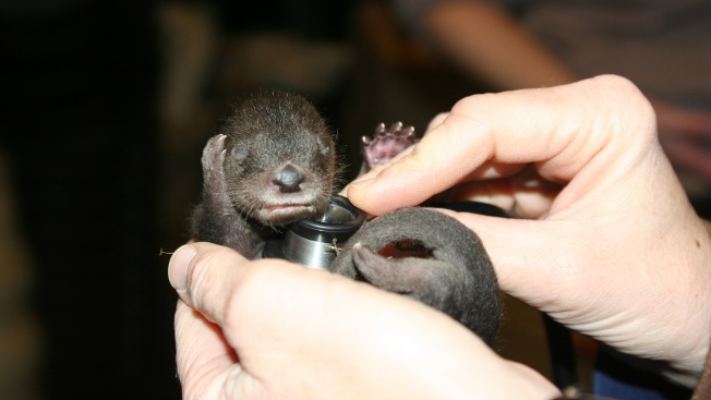 Otter Pups on Display at Oakland Zoo