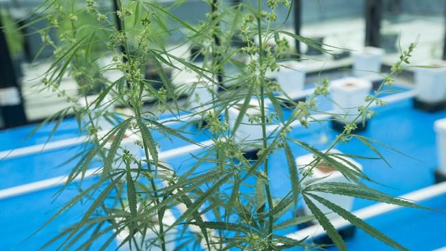 Louisiana Launching Medical Marijuana After Years of Waiting