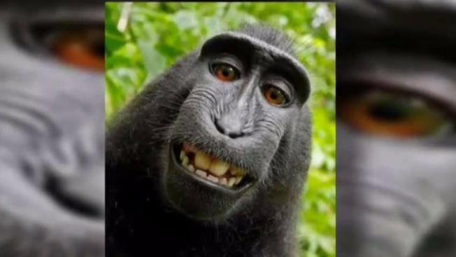 'Monkey selfie' photographer fights macaque for rights to viral image