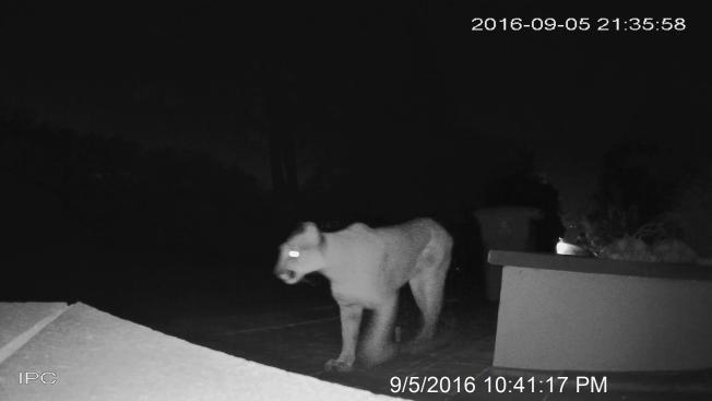 Mountain Lion Spotted in Hillsborough Neighborhood
