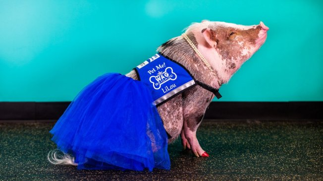 Lilou the Tutu-Wearing Therapy Pig to Return to SFO