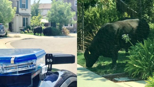 San Ramon Police Spot Two Cows Roaming Neighborhood