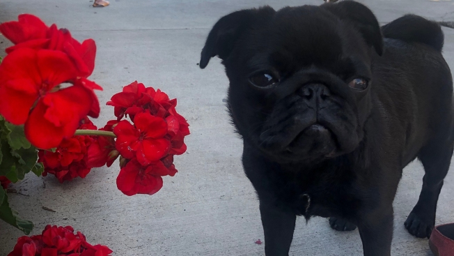 Dog Owner Seeks Apology From Dog Sitting App After Pug Dies