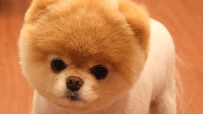 Boo, the 'World's Cutest Dog' Dies
