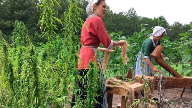 Rope, Not Dope: Hemp Harvest at Washington's Mount Vernon