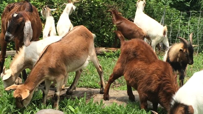 Weed-Eating Goats Clear Twin Peaks to Prepare for Pride Weekend