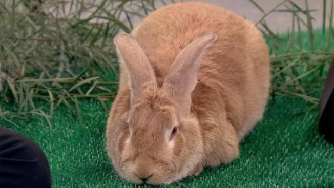 Glut of Rabbits at Peninsula Humane Society