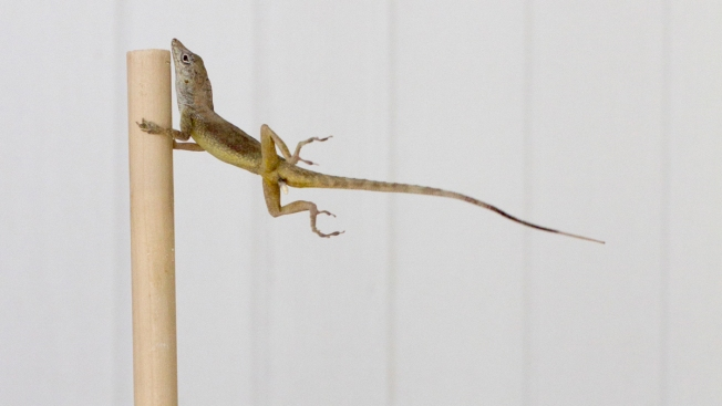Blowin' in the Wind: Why Some Lizards Can Survive Hurricanes