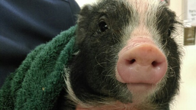 Piglet Rescued by Friar Wandering Amid Mission District Traffic Finds New Home