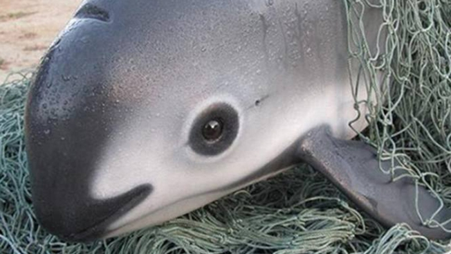 Mexico Extends Gillnet Ban in Bid to Save Endangered Vaquitas