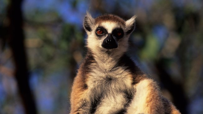 South Florida Woman Attacked by Lemur